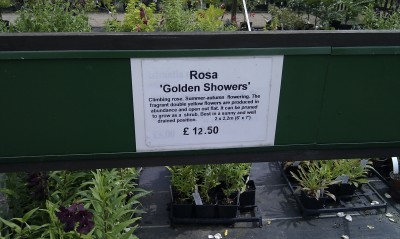 Rose - Golden Shower