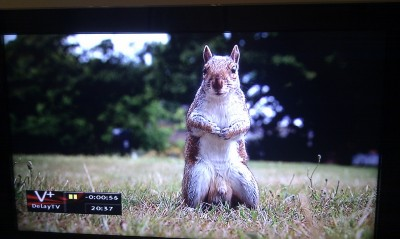 A squirrel with massive testicles