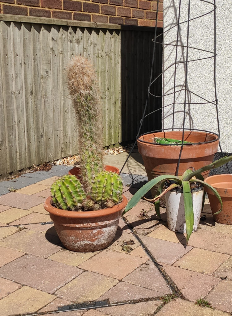 Cacti in the shape of a penis